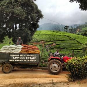 Loinorn Tea Estate, Sri Lanka; © Marjan Ippel