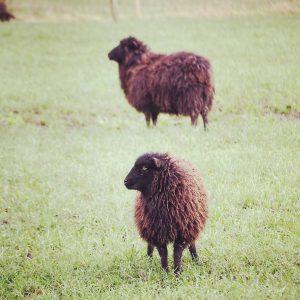 Zenny Ouessant schapen; © Marjan Ippel