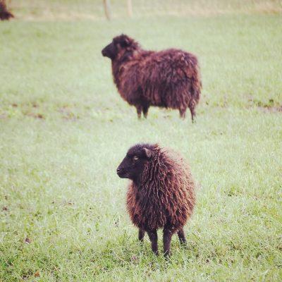 Ouessant schapen; © Marjan Ippel