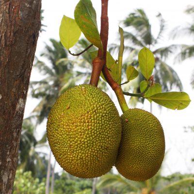 Jackfruit in Sri Lanka; © Marjan Ippel